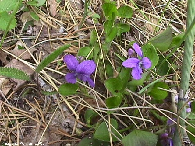 IMG 2002-May25 at Hadashville:  Violet (Viola sp) several wind-gust