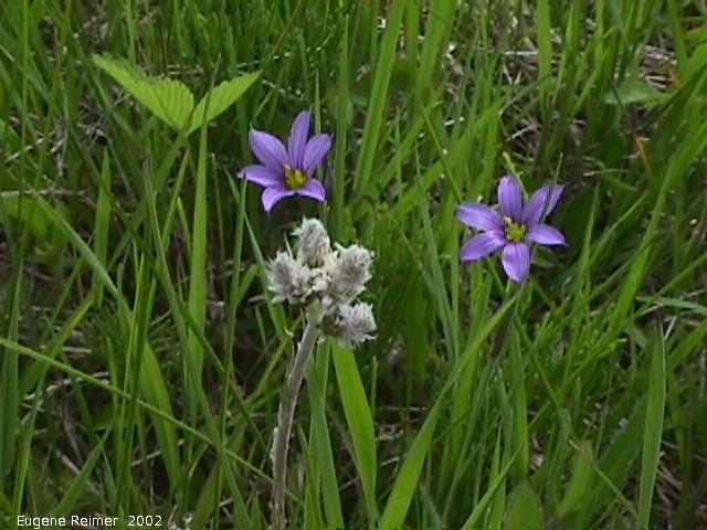 IMG 2002-Jun15 at Williams MN:  Blue-eyed grass (Sisyrinchium montanum)