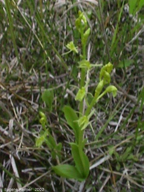 IMG 2002-Jun19 at PTH#15 east of Anola:  Loesels false-twayblade (Liparis loeselii)