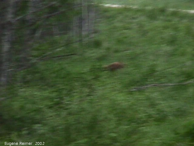 IMG 2002-Jun19 at PTH#15 east of Anola:  Black bear (Ursus americanus) cinnamon-coloured out-of-focus