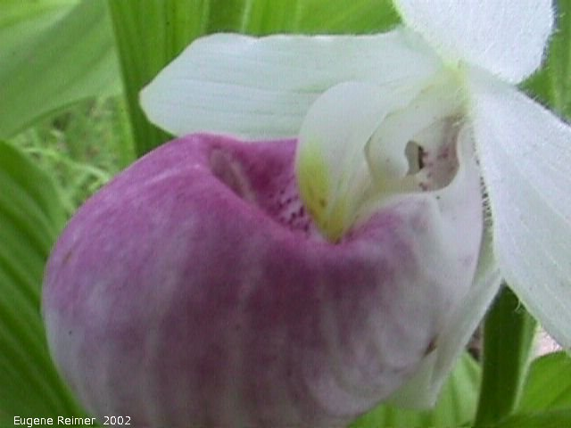 IMG 2002-Jul03 at bog east of PR308:  Showy ladyslipper (Cypripedium reginae) flower
