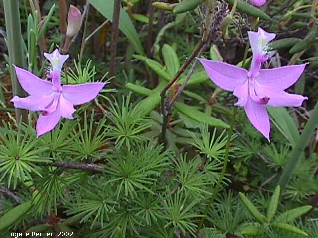 IMG 2002-Jul09 at GullLakeWetlands:  Grass-pink (Calopogon tuberosus var tuberosus) pair