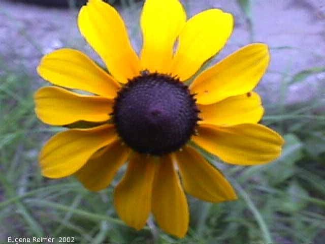 IMG 2002-Jul16 at Tolstoi TGPP:  Black-eyed susan (Rudbeckia hirta)