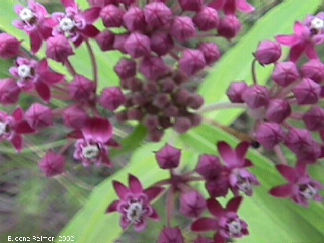 IMG 2002-Jul16 at Tolstoi TGPP:  Swamp milkweed (Asclepias incarnata)