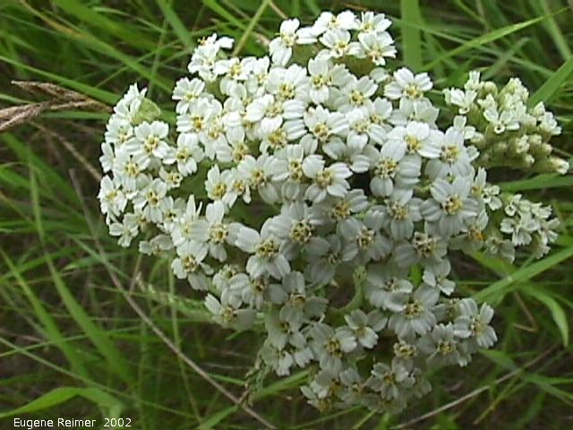 IMG 2002-Jul16 at Tolstoi TGPP:  Common yarrow (Achillea millefolium)