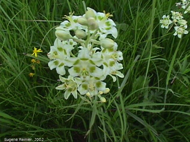 IMG 2002-Jul16 at Tolstoi TGPP:  Smooth death-camas (Zigadenus elegans)