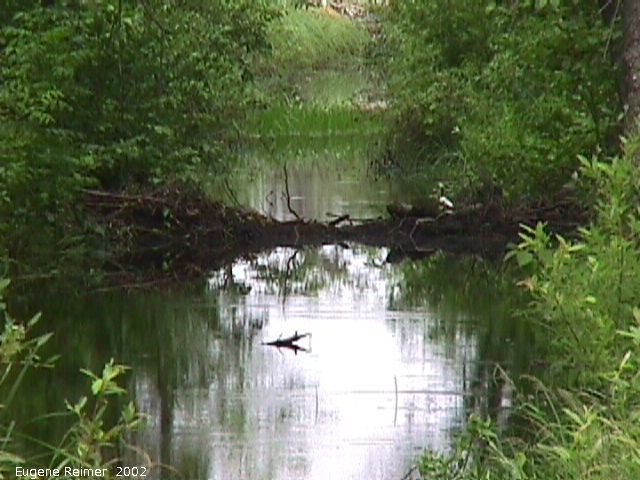 IMG 2002-Jul20 at near Beaconia:  bird-on-beaverdam zoom