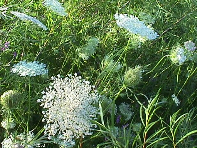 IMG 2002-Jul25 at southeast Winnipeg:  Queen-Annes-lace (Daucus carota) clump