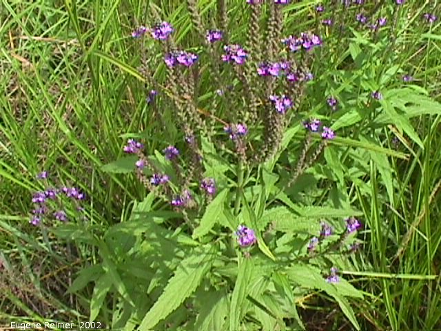 IMG 2002-Jul29 at near FalconLake:  Vervain (Verbena sp)
