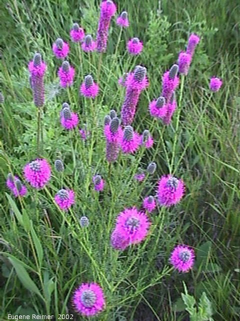 IMG 2002-Aug02 at Winnipeg:  Purple prairie-clover (Dalea purpurea) clump