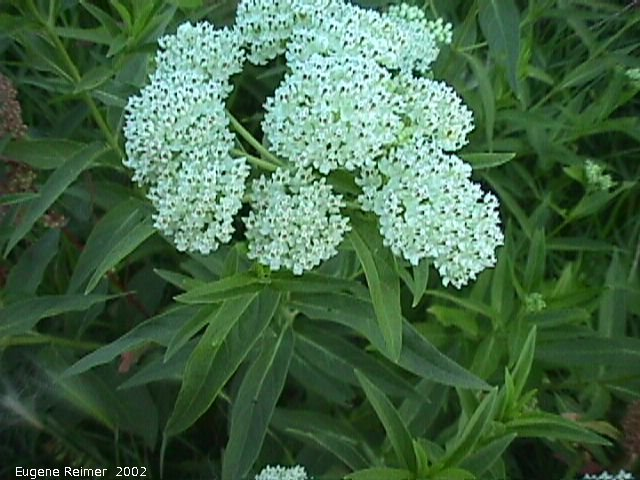 IMG 2002-Aug02 at Winnipeg:  Swamp milkweed (Asclepias incarnata) white-form flowers