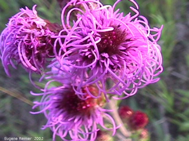 IMG 2002-Aug09 at southeast Winnipeg:  Meadow blazing-star (Liatris ligulistylis) flowers