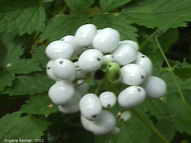 IMG 2002-Aug15 at Bedford:  White-fruited-form red-baneberry (Actaea rubra forma albicarpa) foliage
