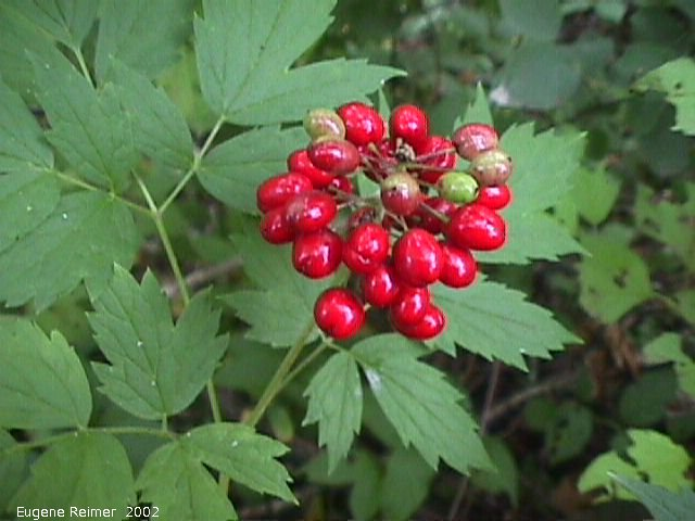 IMG 2002-Aug15 at Bedford:  Red baneberry (Actaea rubra)
