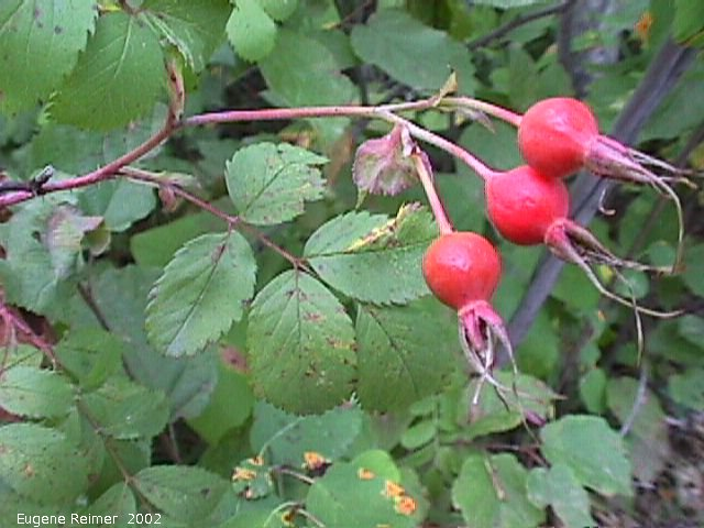 IMG 2002-Aug27 at BirdsHillPark:  Wood's rose (Rosa woodsia) hips