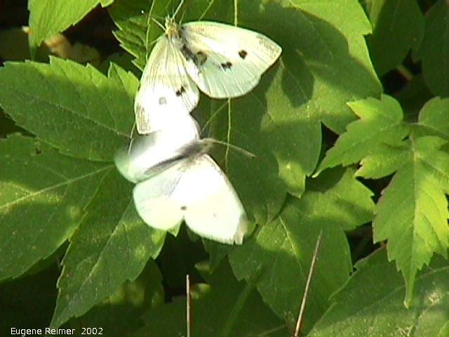 IMG 2002-Aug30 at GarvenRd and PineRidgeRd:  Cabbage white butterfly (Pieris rapae) on Manitoba maple (Acer negundo)