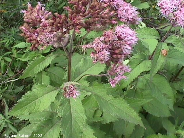 IMG 2002-Sep03 at MossSpurRoad+LibauBog:  Joe-Pye weed (Eupatorium purpureum)