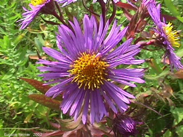 IMG 2002-Sep05 at DoverRd:  New-England aster (Symphyotrichum novae-angliae) flower