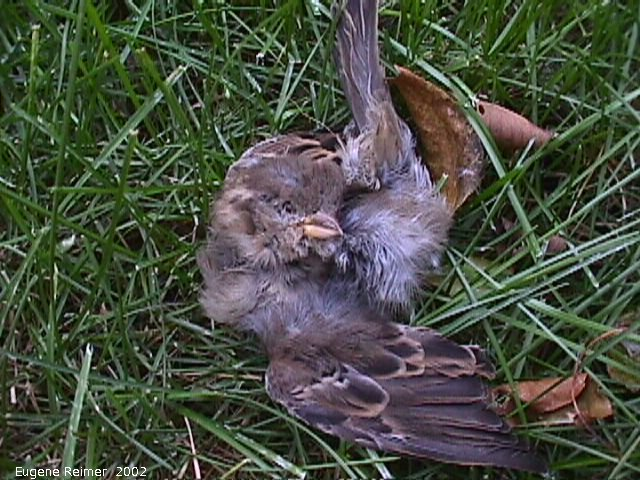 IMG 2002-Oct17 at my backyard:  House sparrow (Passer domesticus) dead removed-from-bird-house