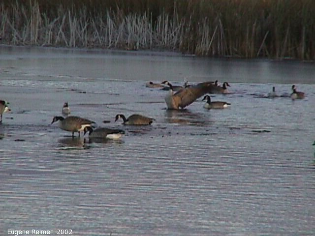 IMG 2002-Oct20 at Oak-Hammock Marsh:  Canada goose (Branta canadensis) on water