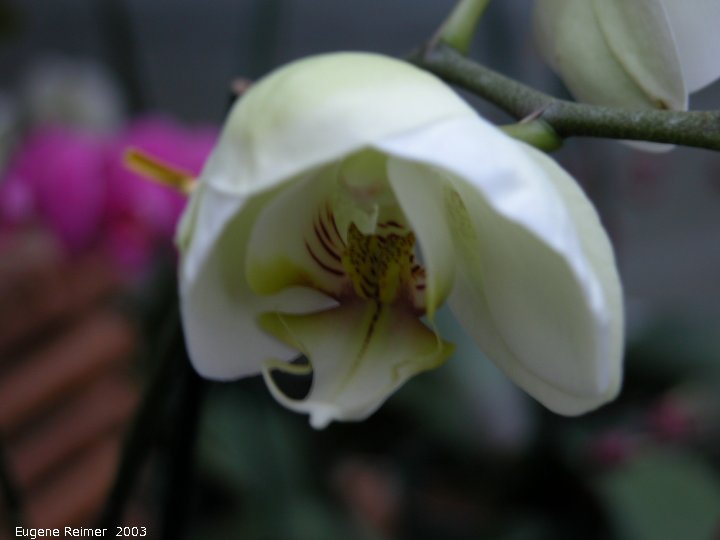 IMG 2003-Jan27 at EverspringOrchids:  Phal (Phalaenopsis sp) Phalaenopsis at-Everspring Orchids
