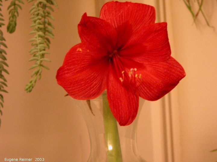 IMG 2003-Jan27 at the Ames house:  Amaryllis (Hippeastrum sp)