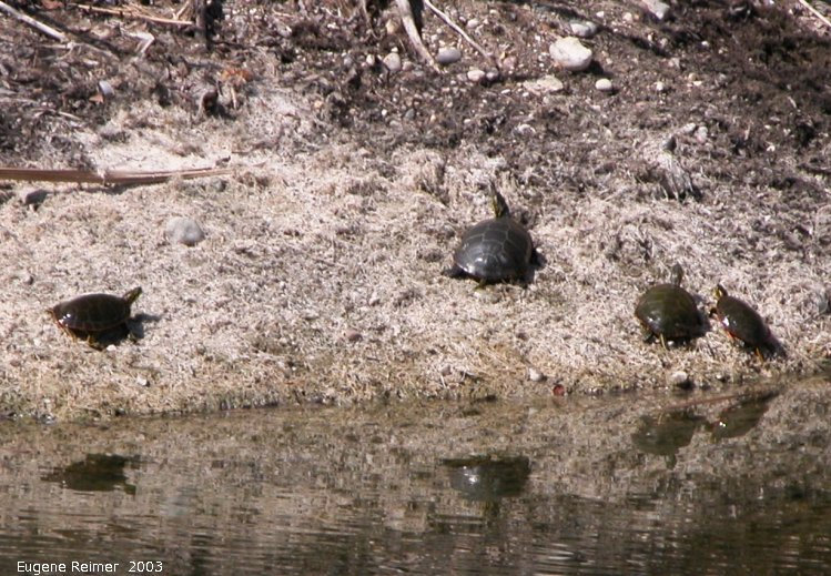 IMG 2003-Apr18 at Braintree-area:  Painted turtle (Chrysemys picta) many