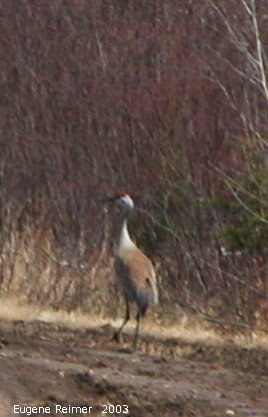 IMG 2003-Apr18 at Braintree-area:  Sandhill crane (Grus canadensis) on road