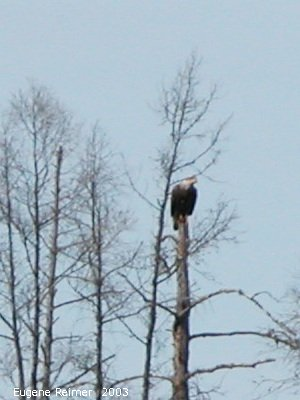 IMG 2003-Apr18 at Braintree-area:  Bald eagle (Haliaeetus leucocephalus)