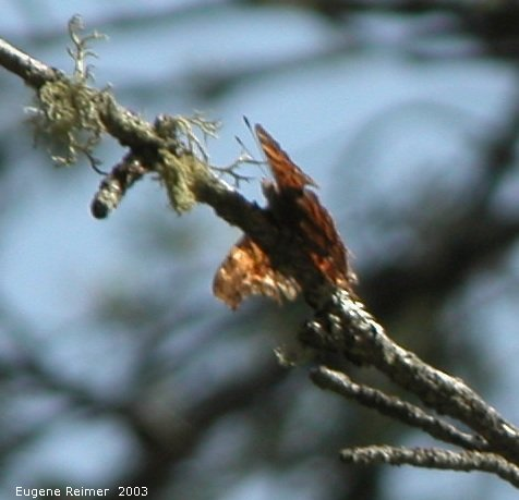 IMG 2003-Apr18 at Braintree-area:  Green comma butterfly (Polygonia faunus)