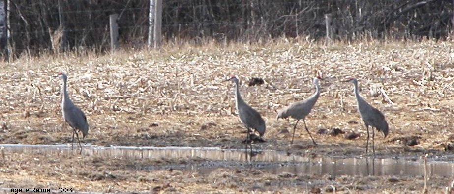 IMG 2003-Apr18 at Braintree-area:  Sandhill crane (Grus canadensis) many on field
