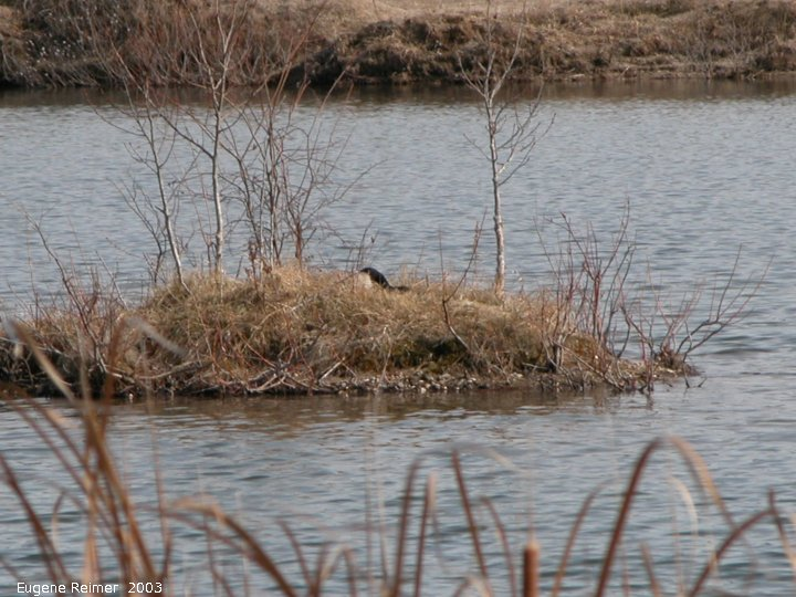 IMG 2003-Apr18 at Braintree-area:  Canada goose (Branta canadensis) on island