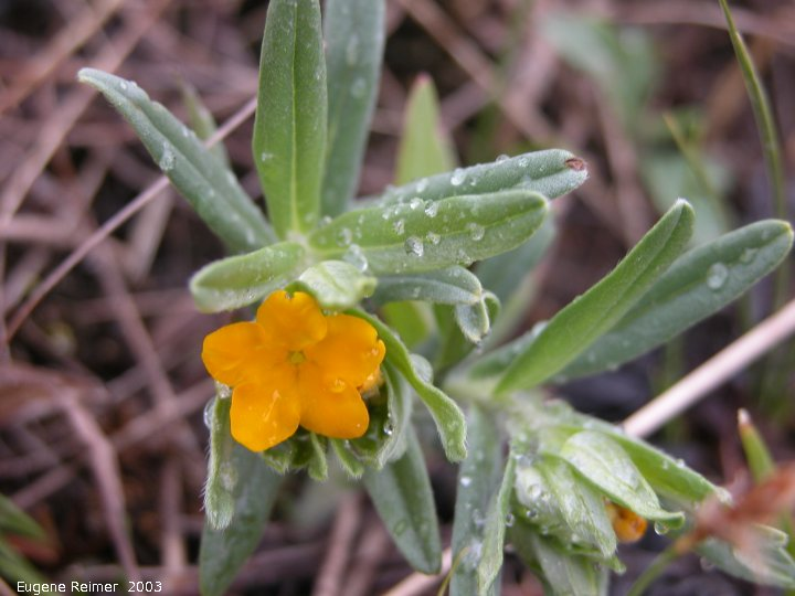 IMG 2003-May10 at Hadashville:  Hoary puccoon (Lithospermum canescens)