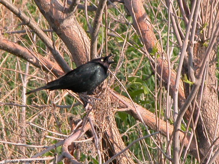 IMG 2003-May26 at NW Winnipeg:  Brewers blackbird (Euphagus cyanocephalus) singing