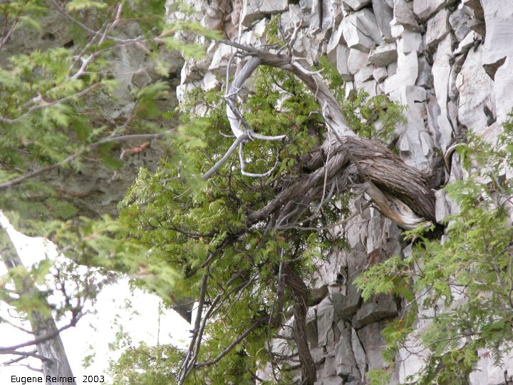 IMG 2003-May31 at Escarpment Hike near CyprusLake ON:  White cedar (Thuja occidentalis) on cliff c 500yrs old