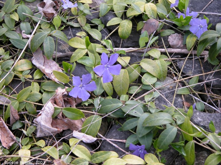 IMG 2003-May31 at DyersBay ON:  Periwinkle (Vinka minor) closeup