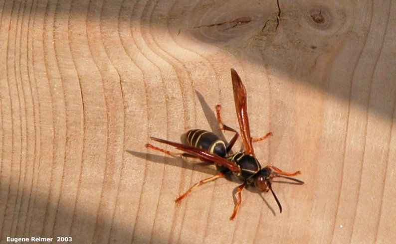 IMG 2003-May31 at DyersBay ON:  Paper-wasp (Polistinae sp)