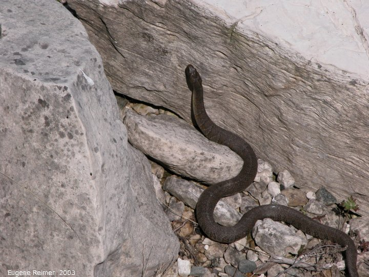 IMG 2003-Jun01 at FlowerpotIsland ON by boat:  Northern watersnake (Nerodia sipedon)