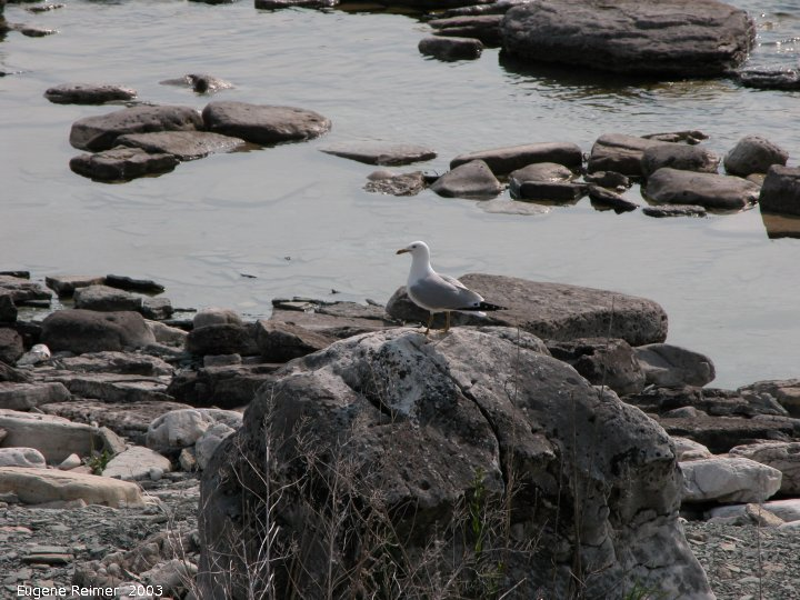 IMG 2003-Jun02 at DyersBay ON:  Ring-billed gull (Larus delawarensis) on rock
