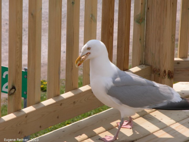 IMG 2003-Jun02 at DyersBay ON:  Herring gull (Larus smithsonianus) on deck
