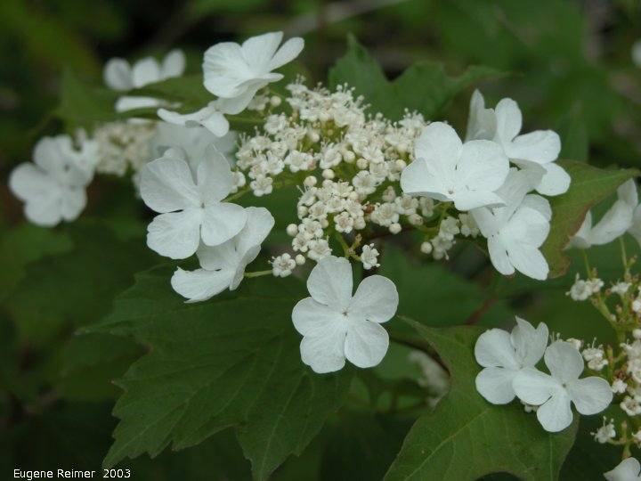 IMG 2003-Jun07 at BirdsHillPark:  High-bush cranberry (Viburnum opulus)