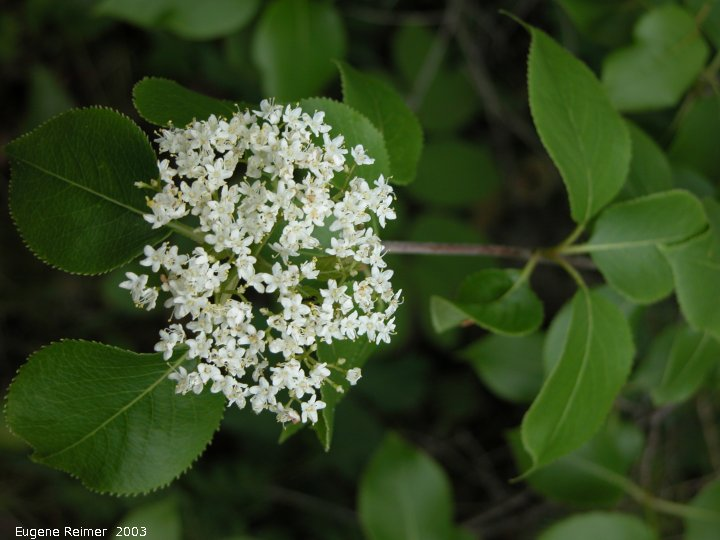 IMG 2003-Jun07 at BirdsHillPark:  Nannyberry (Viburnum lentago)