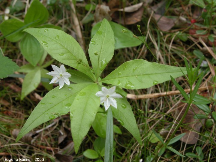 IMG 2003-Jun09 at MarbleRidge near FisherBranch:  Northern starflower (Trientalis borealis)