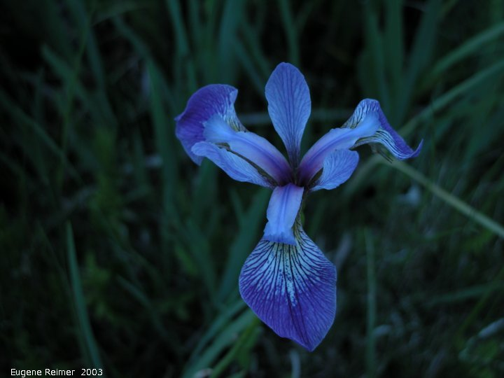 IMG 2003-Jun11 at Hadashville:  Blue-flag iris (Iris versicolor)