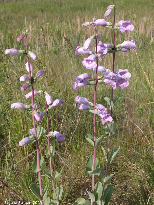 IMG 2003-Jun14 at BlueberryHill MN:  Large-flowered beardtongue (Penstemon grandiflorus) planted by MN-Highways