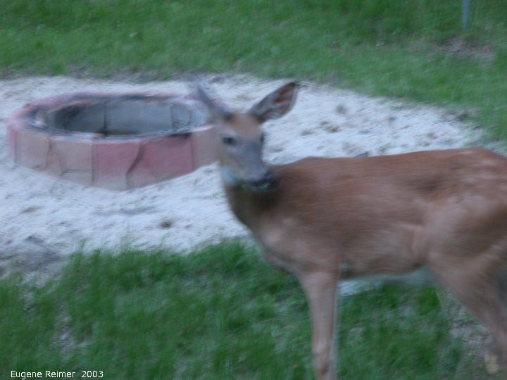 IMG 2003-Jun14 at BuffaloPoint:  White-tailed deer (Odocoileus virginianus) domesticated