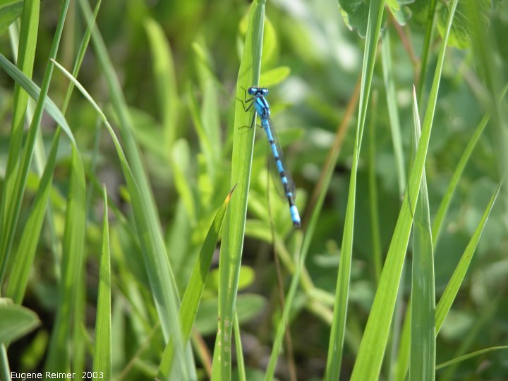 IMG 2003-Jun23 at RidingMountainPark:  Northern bluet damselfly (Enallagma annexum)