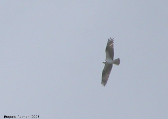 IMG 2003-Jun24 at RidingMountainPark:  Osprey (Pandion haliaetus)