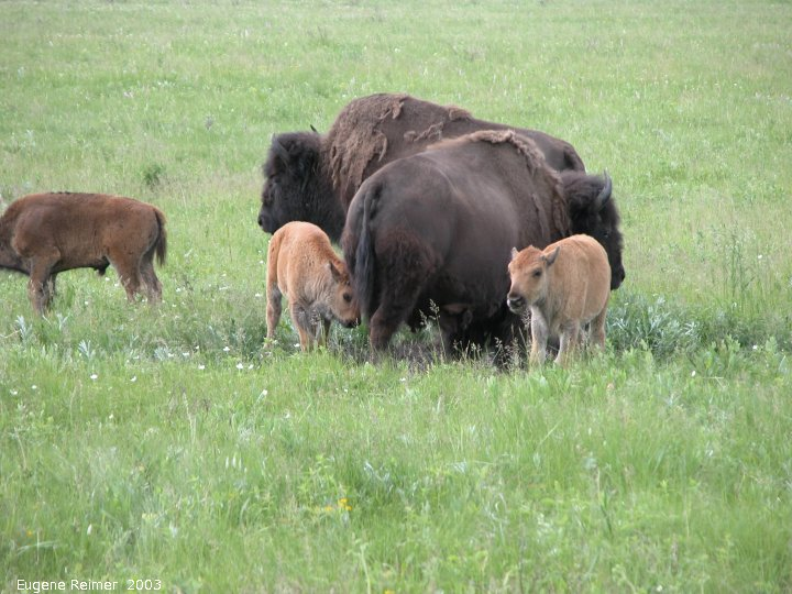 IMG 2003-Jun24 at RidingMountainPark:  Plains bison (Bison bison bison) calves