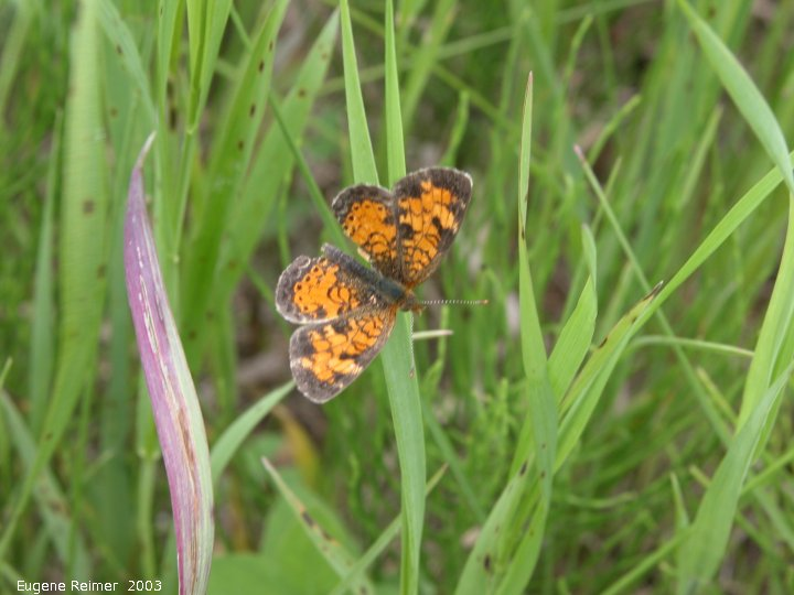 IMG 2003-Jun28 at Woodridge:  Crescent butterfly (Phyciodes sp)